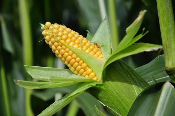 Yhabusta Ingrediantes Maize