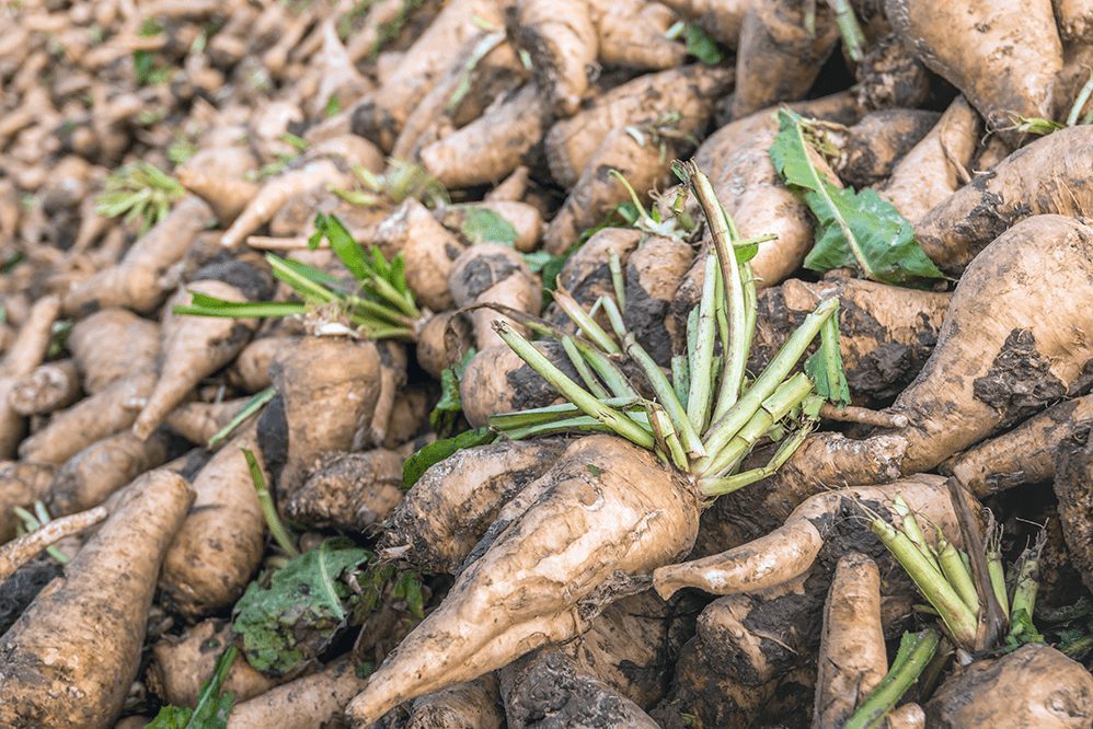 Harvested Chicory Roots - Inulin – A Prebiotic Fibre With Powerful Health Benefits