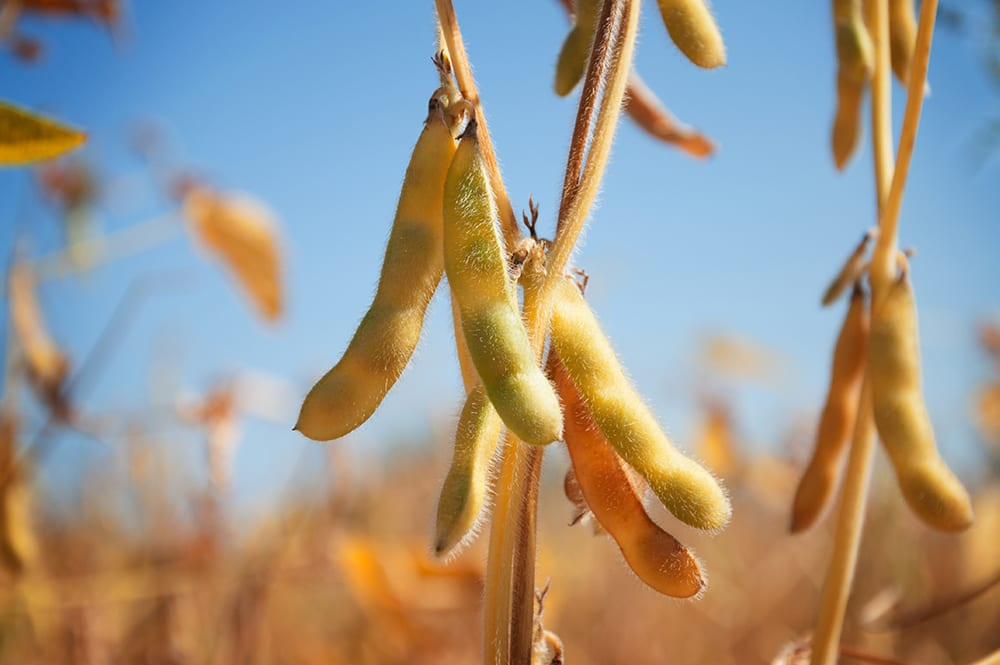 Soya Beans - Benefits of Soya Beans and Eating Soya