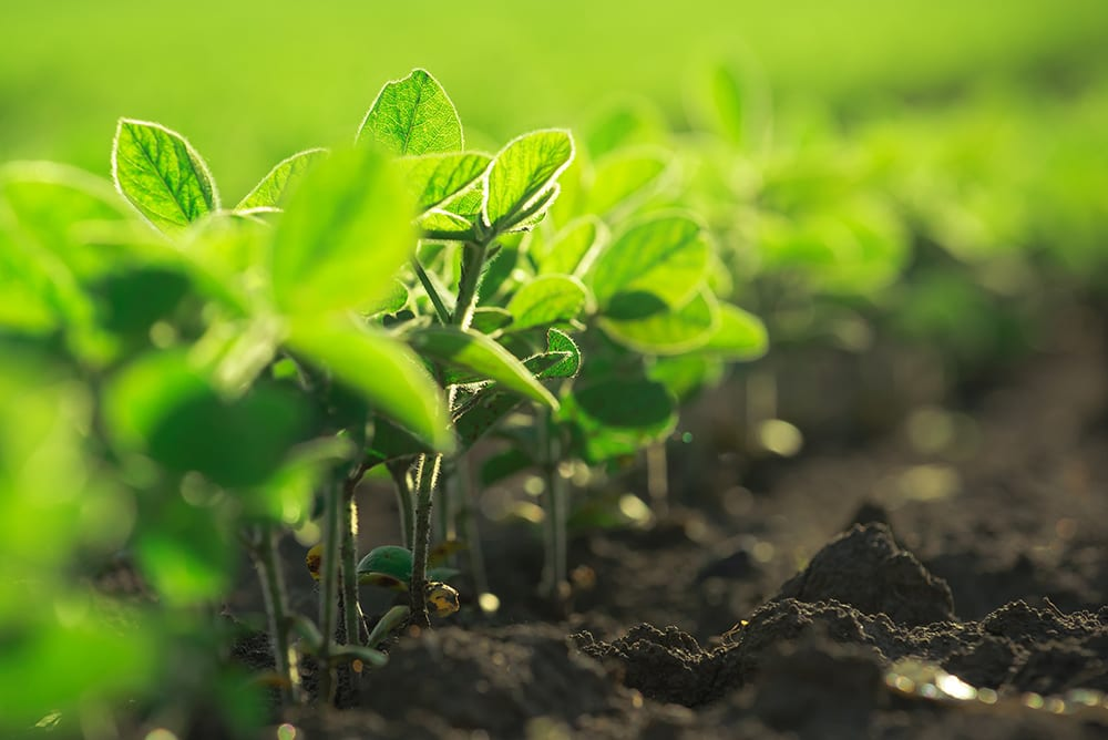 Young Soya Bean Plants - Benefits of Eating Soya